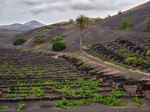Vinhedos famosos do La Geria na ilha vulcânica de Lanzarote do solo Fotografia de Stock Royalty Free