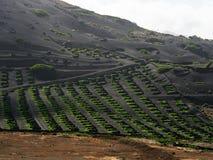 Vinhedos famosos do La Geria na ilha vulcânica de Lanzarote do solo Fotos de Stock