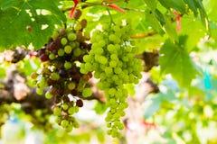 Vinhedos frescos, exploração agrícola da uva. Fotografia de Stock