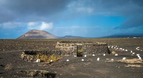 Vinhedos no La Geria, Lanzarote, Ilhas Canárias, Espanha fotos de stock royalty free
