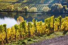 Vinhedos no Moselle em Alemanha foto de stock royalty free