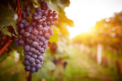 Vinhedos no por do sol na colheita do outono Imagem de Stock Royalty Free