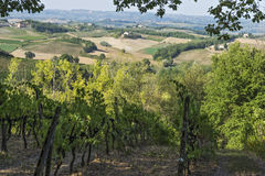 Vinhedos nos montes de Siena em Toscânia Imagens de Stock