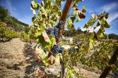 Vinhedos velhos com as uvas do vinho tinto no céu azul imagens de stock royalty free