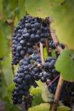 Vinheta das uvas do noir de Pinot Imagem de Stock