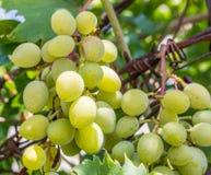 Vinho branco ajuntado do fundo das uvas na luz solar Imagem de Stock Royalty Free
