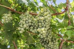 Vinho branco ajuntado do fundo das uvas na luz solar Foto de Stock Royalty Free