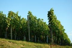 Vinho-crescimento/vinho/paisagem Fotografia de Stock