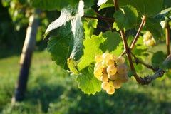 Vinho-crescimento/vinho/paisagem Imagem de Stock Royalty Free