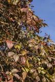 Vinho do outono Imagem de Stock
