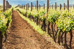 Vinhos da uva com no vinhedo Fotos de Stock Royalty Free