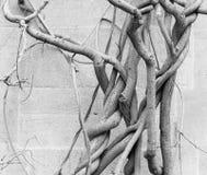 Vini nudi nell'inverno - parete di pietra antica della vecchia pianta di glicine Immagini Stock Libere da Diritti