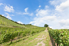 Viniculture Royalty Free Stock Photography