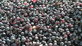Vinificazione che ordina le vino-uve sull'arrivo alla cantina su una cinghia di vibrazione archivi video