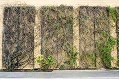 Vining rośliny na ściennej strukturze obrazy royalty free