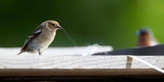 Vink, Common Chaffinch, Fringilla coelebs stock images