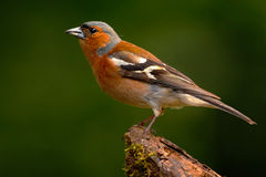 Vink, Fringilla coelebs, oranje zangvogelzitting op de aardige tak van de korstmosboom met Vink weinig vogel in aardbos stock foto