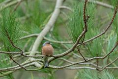Vink in Sherwood Forest Royalty-vrije Stock Afbeelding