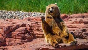 Vinka för grisslybjörn Arkivbilder