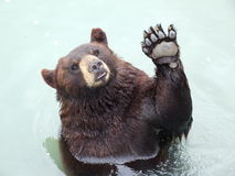 Vinkande björn Royaltyfri Foto