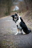 Vinkande border collie Royaltyfri Foto