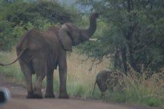 Vinkande farväl för elefant royaltyfria bilder
