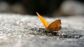 Vinkande vingar för fjäril, närbild arkivfilmer