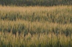 Vinkar av korn Royaltyfri Bild