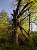 Vinkelträd royaltyfria bilder