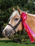 Vinnande häst Arkivfoto