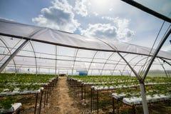Vinnitsa, Ukraine-22 del giugno 2017 Sviluppo industriale dello strawberri Immagine Stock Libera da Diritti