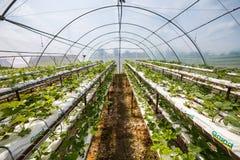 Vinnitsa, Ukraine-22 vom Juni 2017 Industrielles Wachstum von strawberri stockfotos