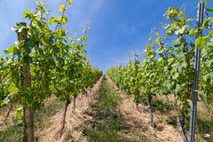 vino Fotografia Stock