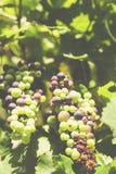 vino Obrazy Stock