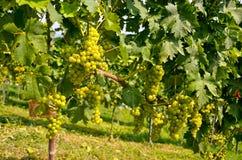 Vino blanco: Vid con las uvas antes del vintage y de la cosecha, Estiria meridional Austria Fotos de archivo