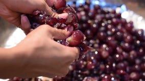 Vino casero de las frutas de las uvas que procesa el machacamiento completo de la fruta con muchas manos limpias femeninas jovene metrajes