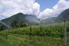 Vino-coltura nel Tirolo del sud (Italia) Fotografie Stock Libere da Diritti