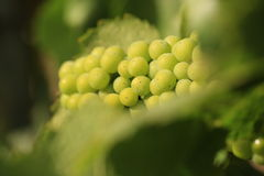 Vino de Chardonnay en un viñedo Fotos de archivo libres de regalías