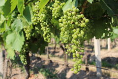 Vino de la uva Imagen de archivo