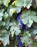 Vino del Bordeaux Fotografia Stock Libera da Diritti