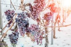 Vino del ghiaccio Uva rossa del vino per il vino del ghiaccio nello stato e nella neve di inverno fotografia stock libera da diritti
