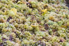 vino della raccolta Fotografia Stock Libera da Diritti