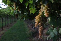 Vino italiano de los campos de las uvas imagenes de archivo