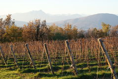 Vino italiano de los campos del viñedo imagen de archivo libre de regalías