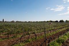 Vino italiano de los campos del viñedo foto de archivo libre de regalías