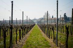 Vino italiano dei campi della vigna Immagine Stock