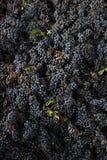 Vino italiano dei giacimenti dell'uva Fotografia Stock