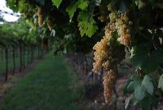Vino italiano dei giacimenti dell'uva Immagini Stock