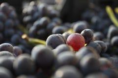 Vino italiano dei giacimenti dell'uva Immagine Stock