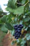 Vino italiano dei giacimenti dell'uva Immagini Stock Libere da Diritti